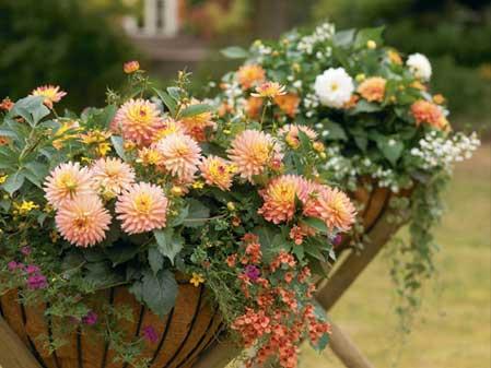 Dahlia Flowers in Pots Dahlias Grown in Pots Photo