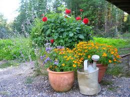 you don t need a garden to grow dahlias victoria dahlia. Black Bedroom Furniture Sets. Home Design Ideas