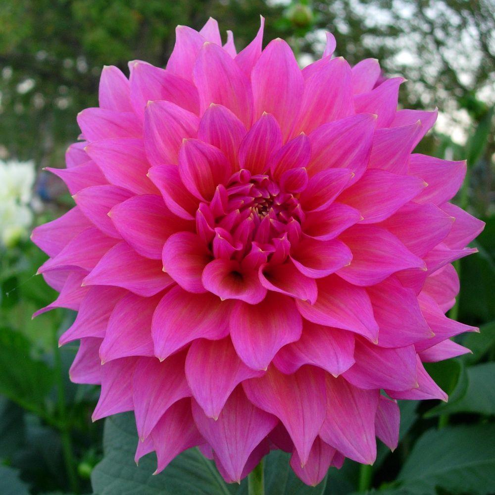 Elsie Huston DSCN3322 crop | Victoria Dahlia Society